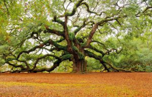 oak-tree-charleston